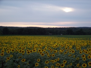 sunflowers 016